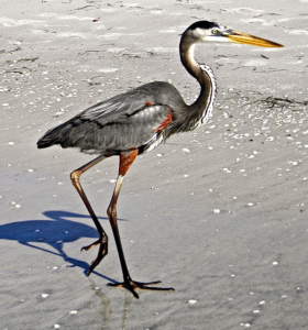 A great blue heron saunters up the shore. (Photos by Michael Givant)